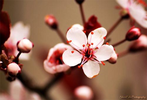 nature cherry flower image