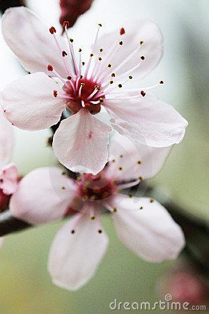 lovely cherry flower image