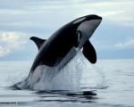 killer whales photos image