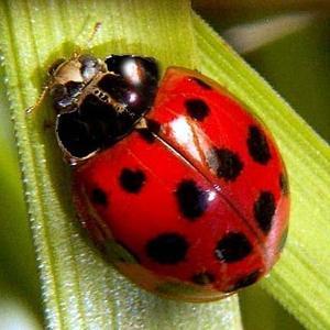 large ladybug wallpaper image