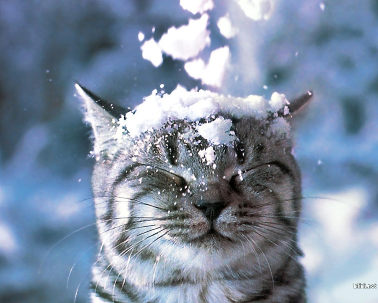 cat in the snow wallpaper