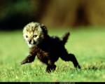 baby cheetah image