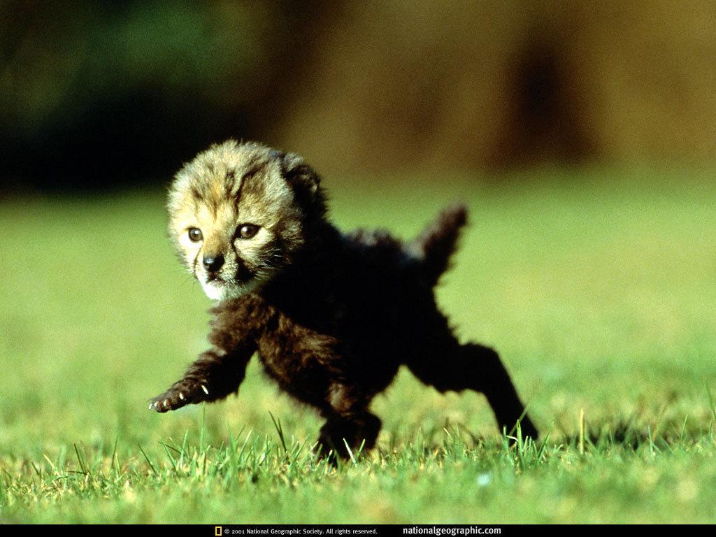 cute baby cheetah wallpapers