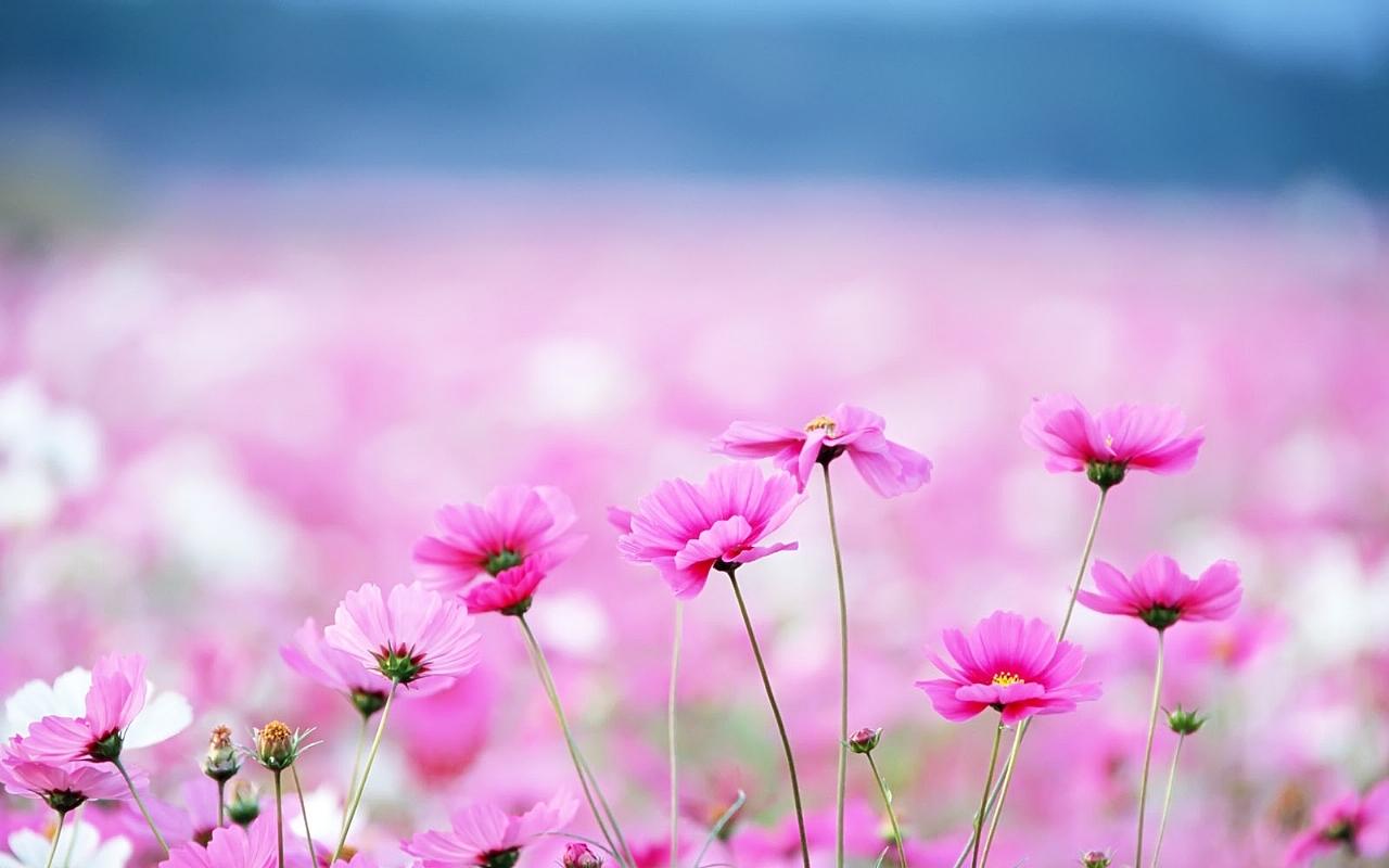 pink flower cute wallpaper