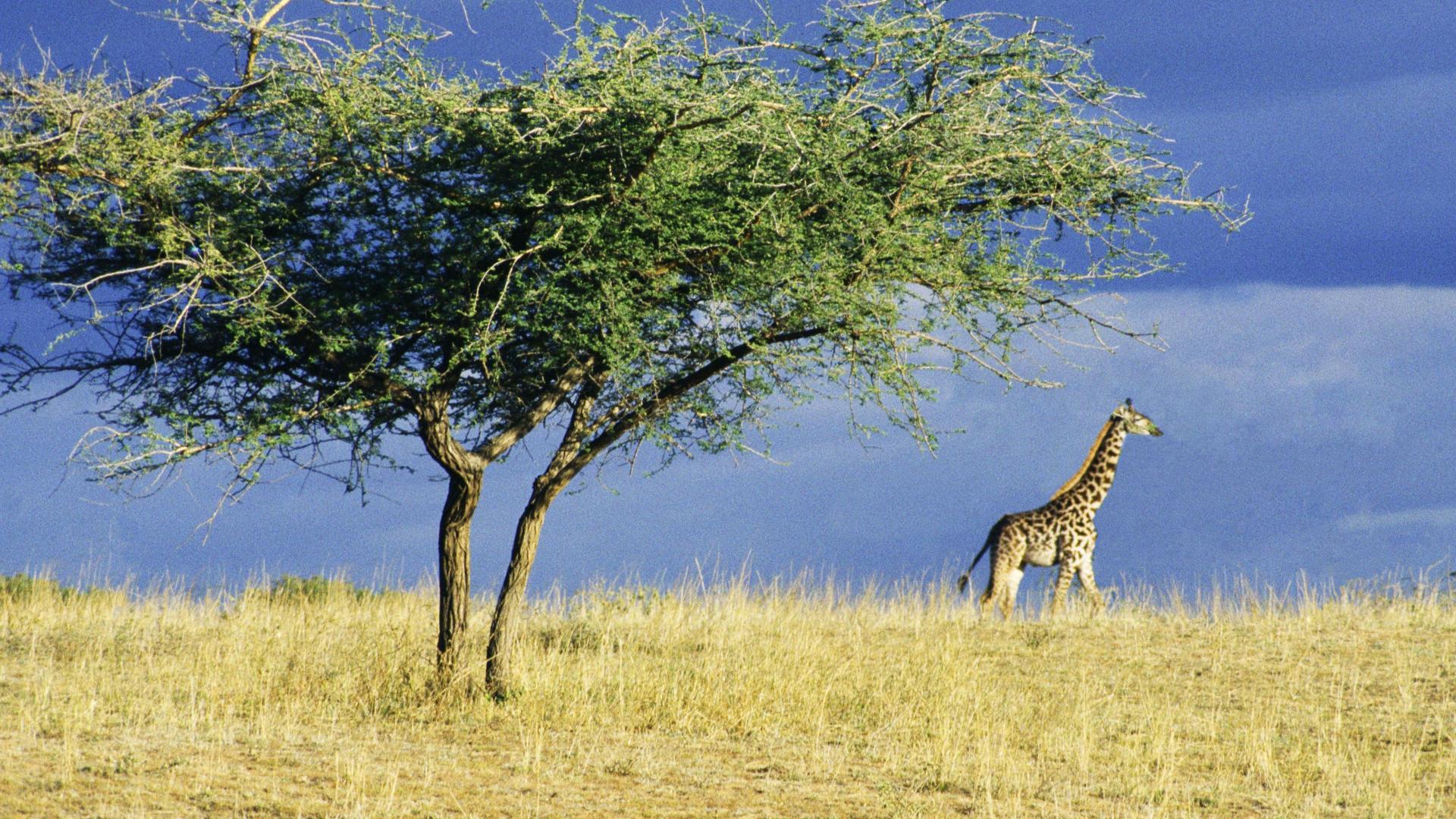 national park serengeti wallpaper