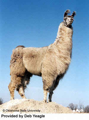 big Llama Pictures