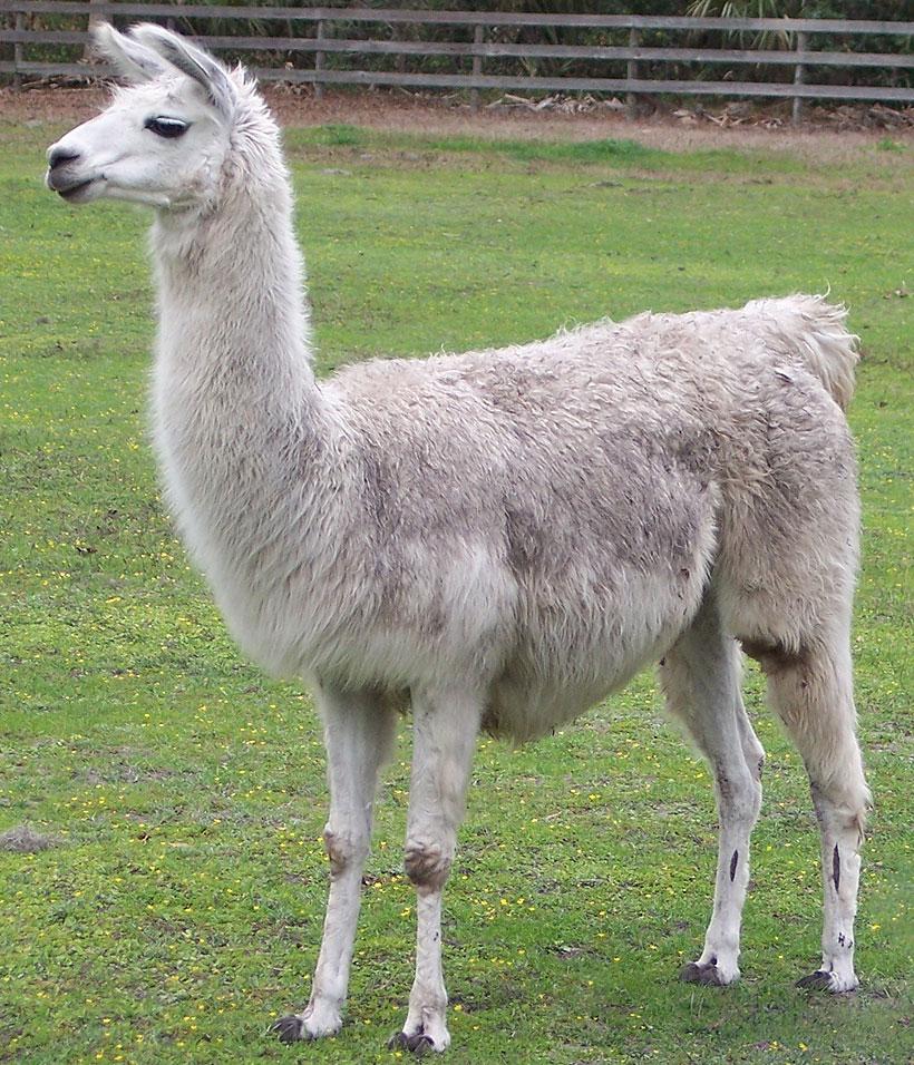 cutest Llama Pictures
