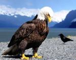 desktop eagle hd wallpaper