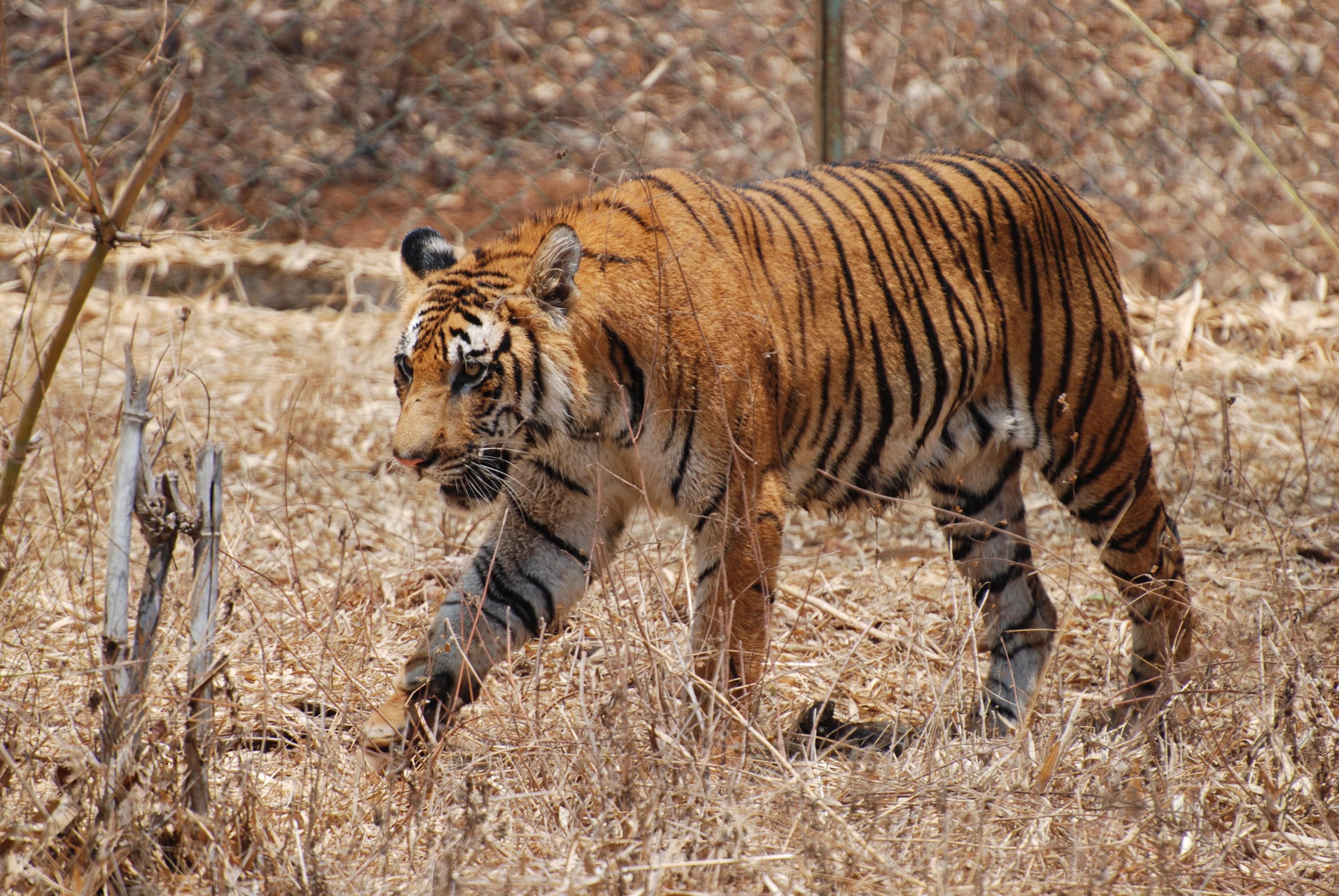 karnataka bengal tiger pictures