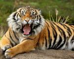 danger bengal tiger pictures