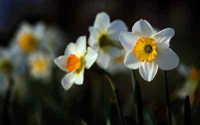 beautiful daffodil wallpaper image