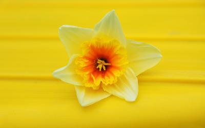 most popular daffodil wallpaper
