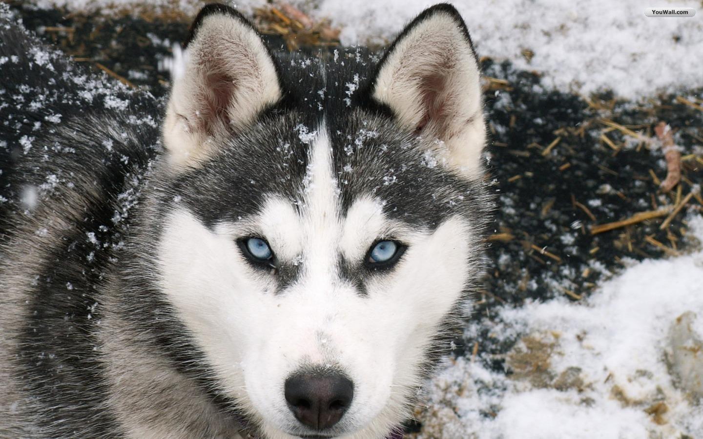 snowfall husky picture image
