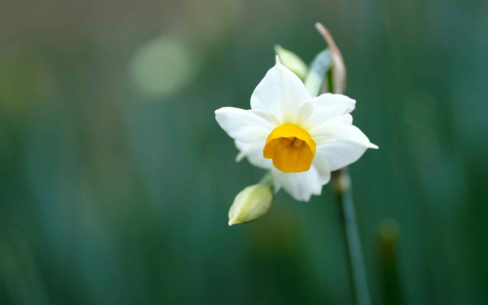 super daffodil wallpaper picture