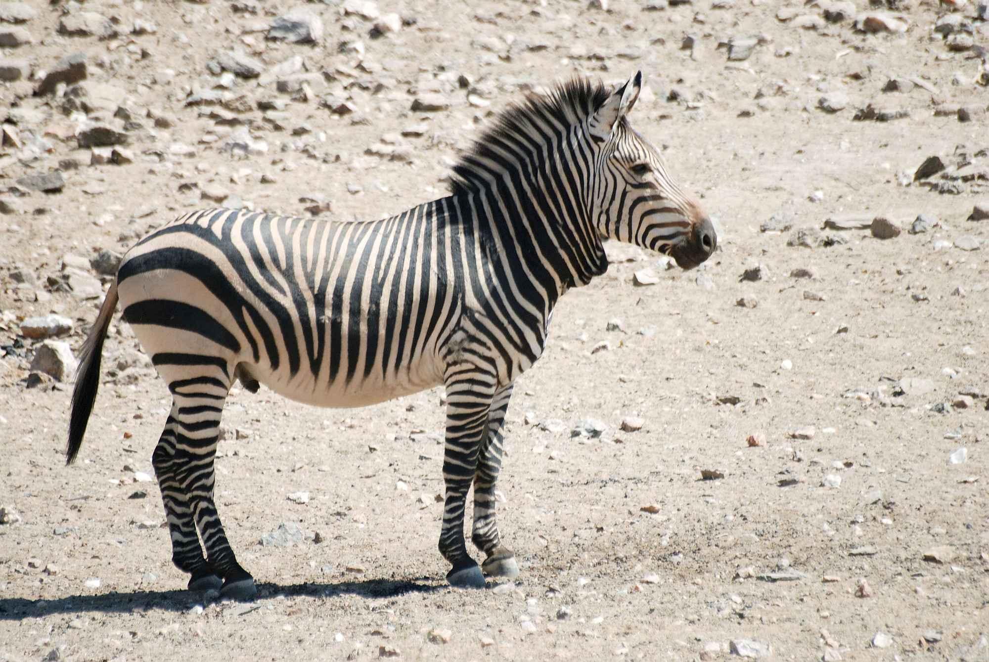 hartmann zebra pictures