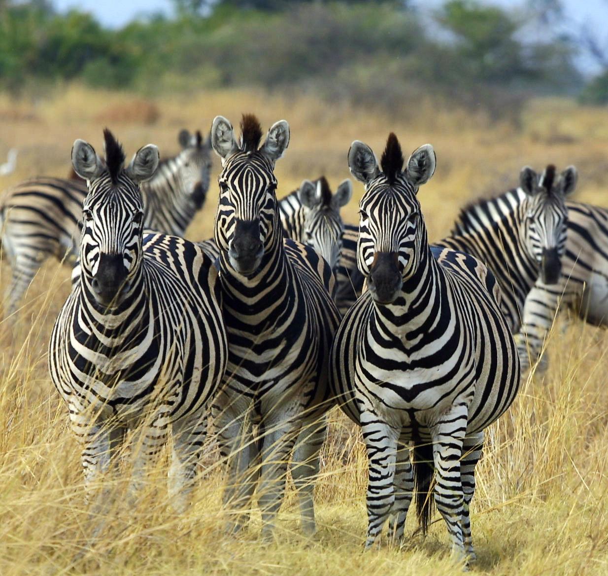 zebra botswana pictures