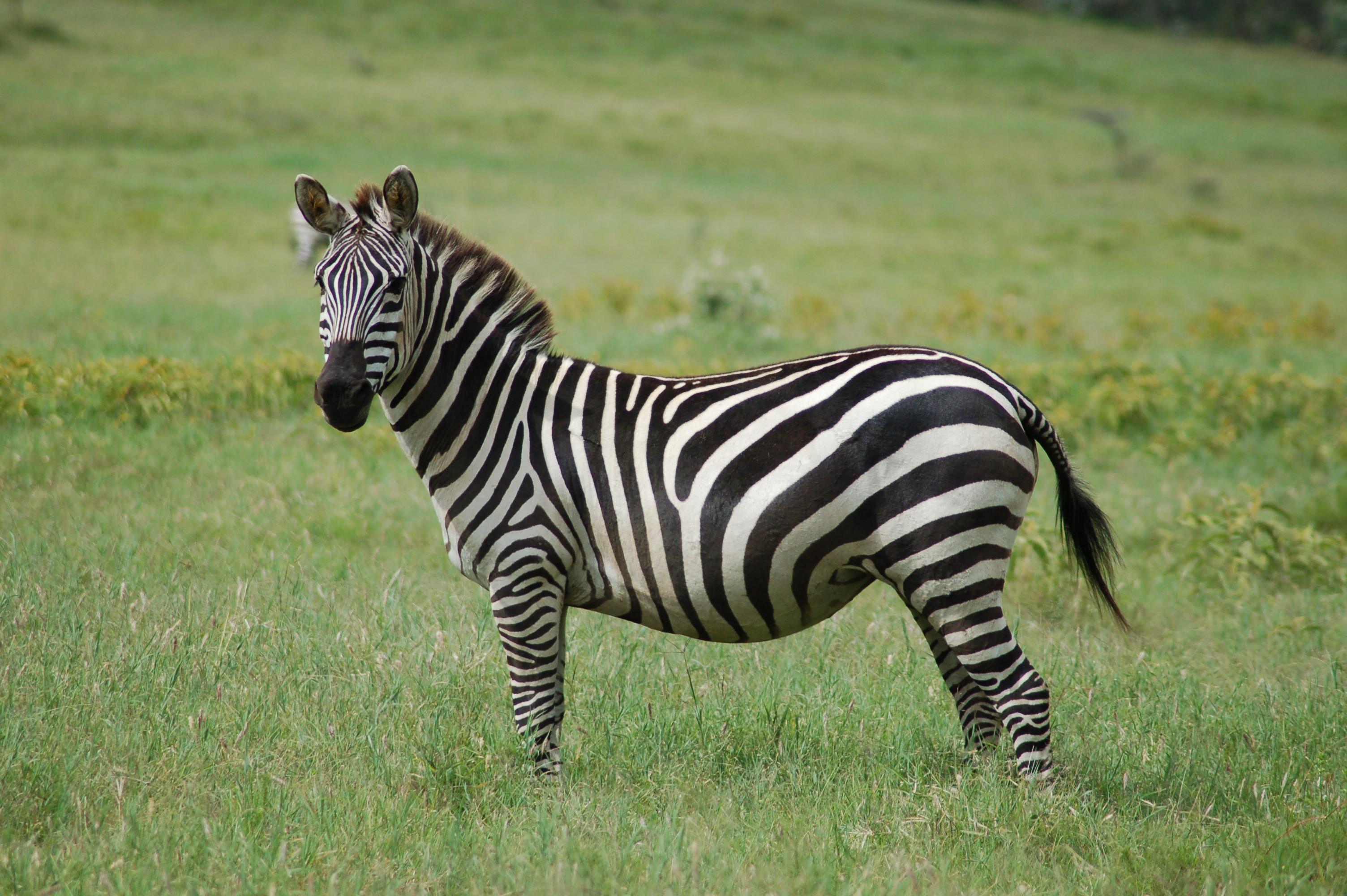 equus zebra pictures image