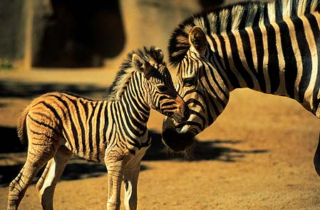 sdzoo zebra wallpaper image