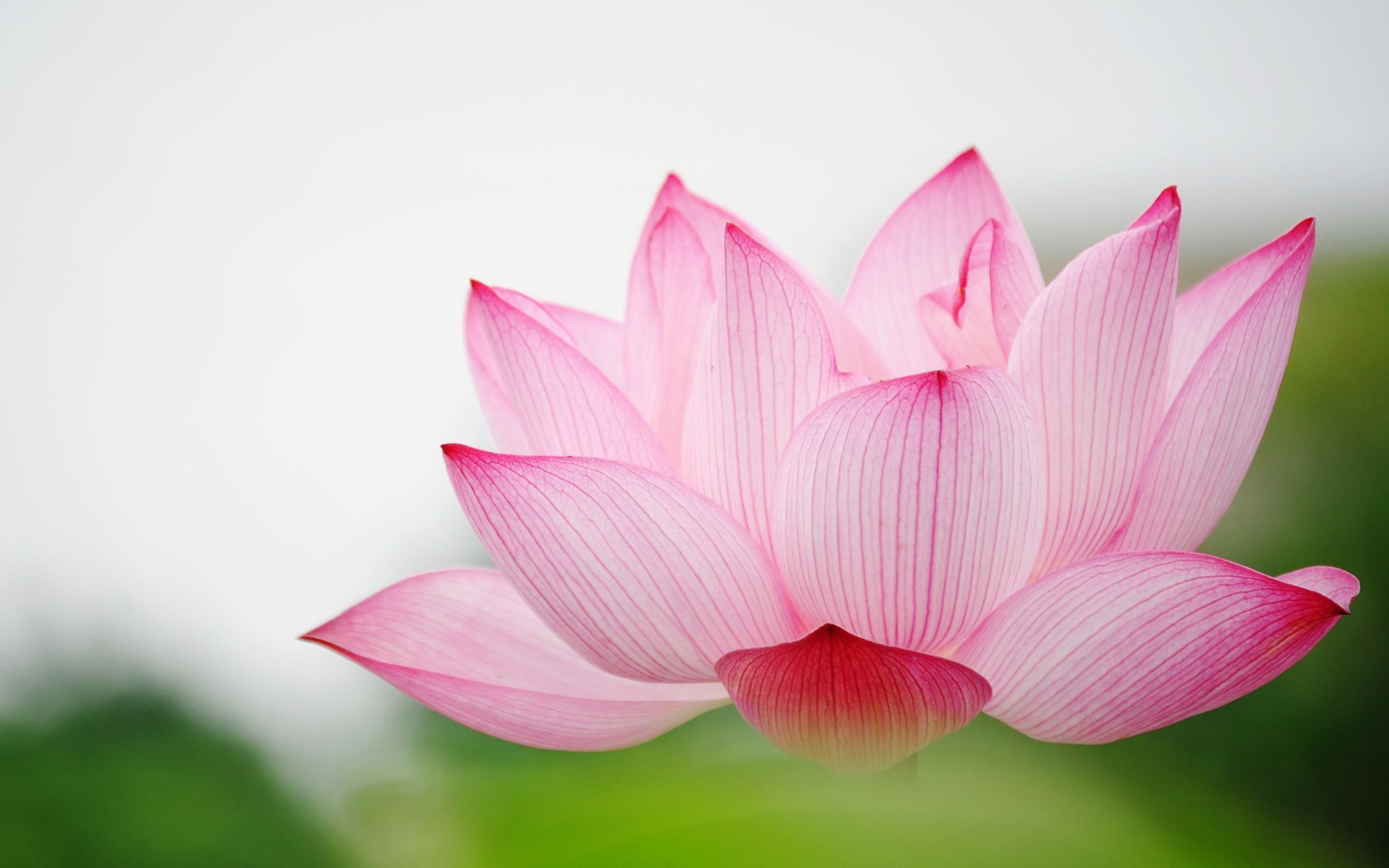 nature pink lotus wallpapers image