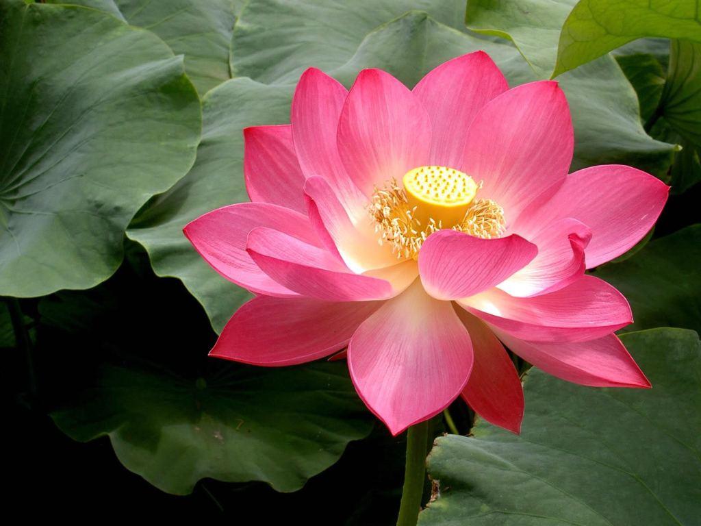 nice pink lotus wallpapers image