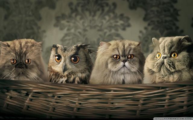 brown owl wallpapers