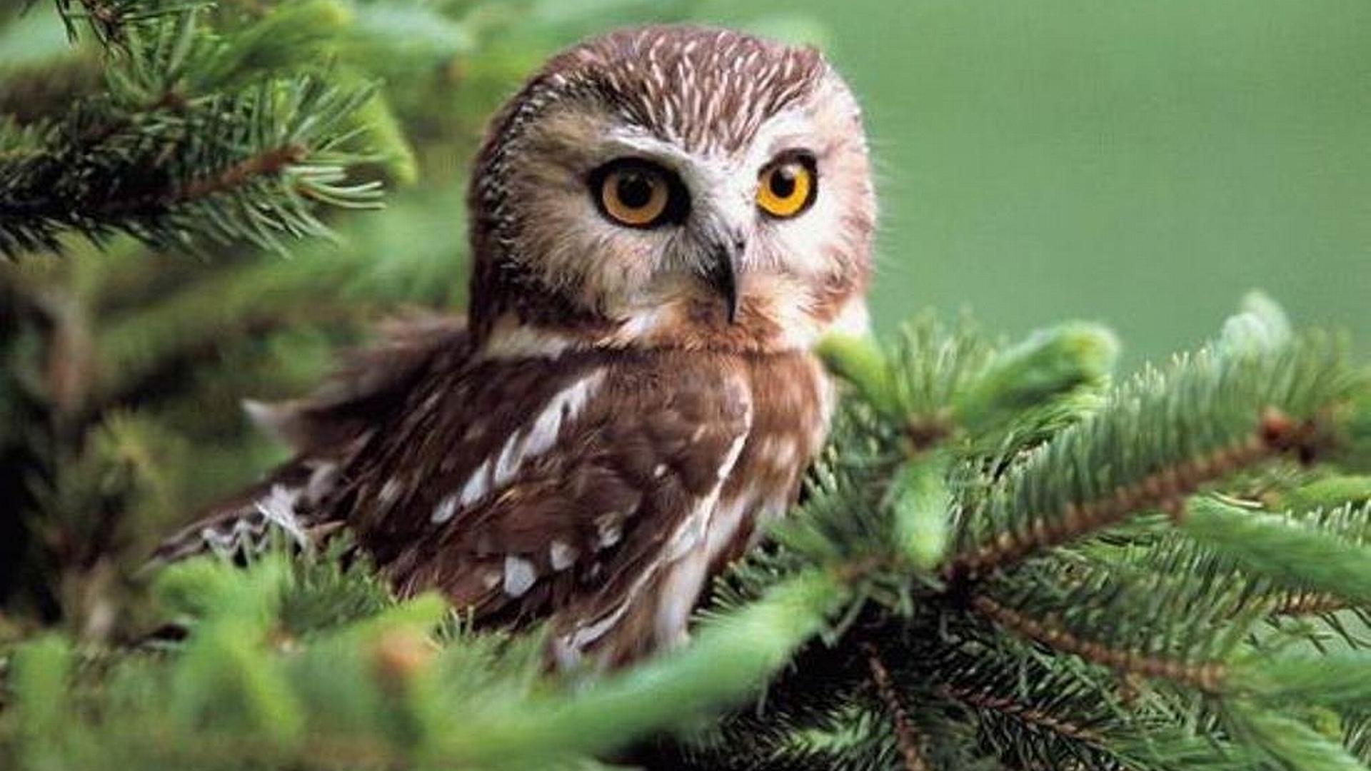 big eyes owl wallpapers image