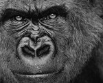 danger gorilla wallpapers pc
