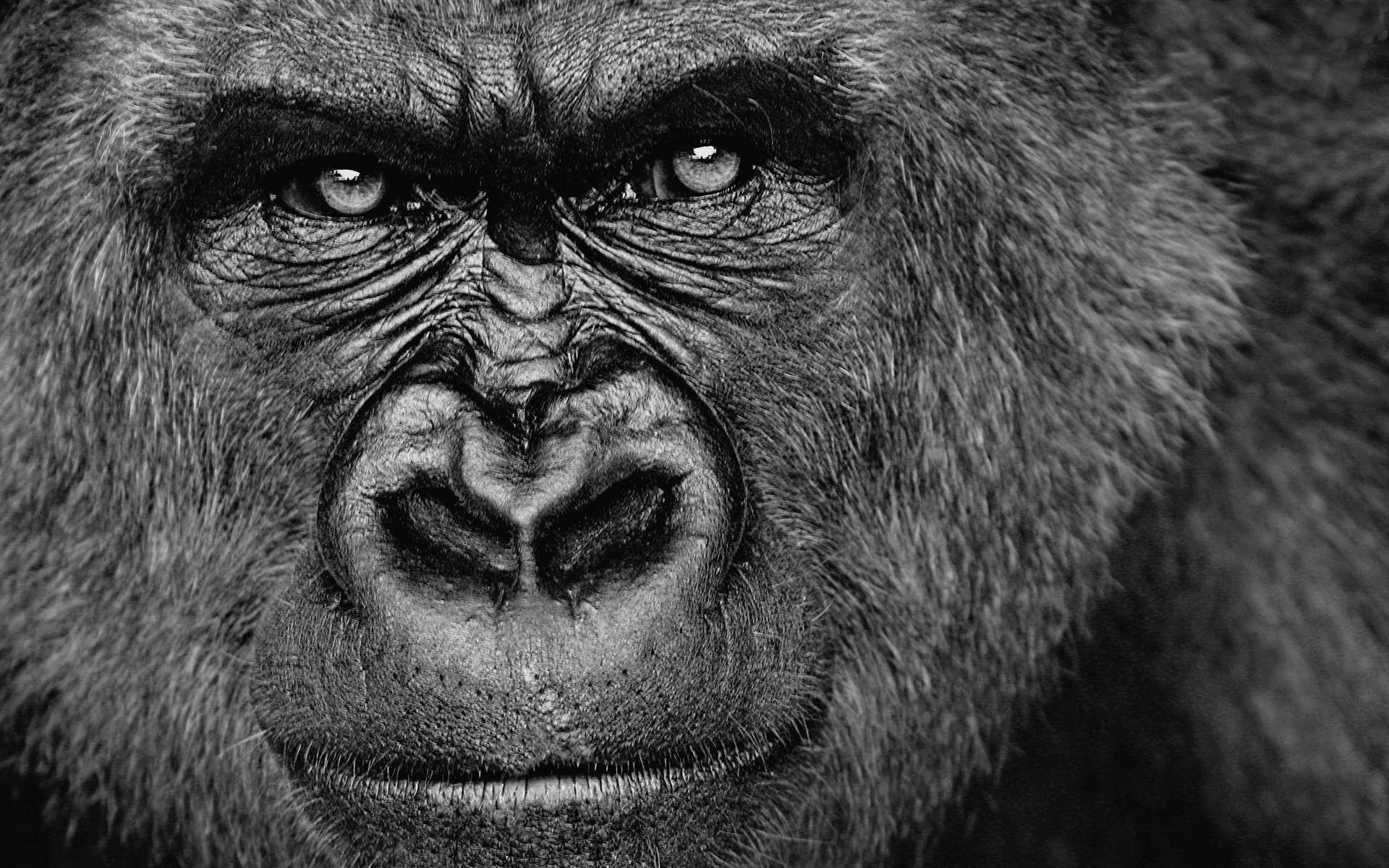 stunning gorilla wallpapers