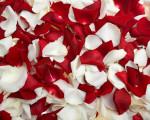 red white flower petals wallpaper