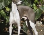 full big greyhound photos