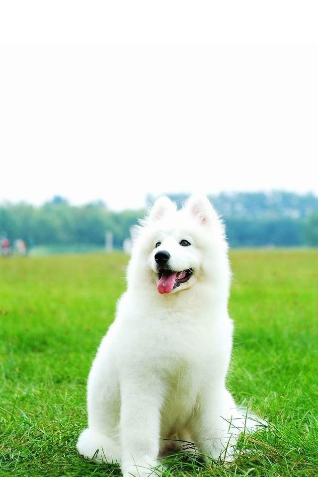White Dog Wallpaper Awesome White Dog Wallpaper 21704