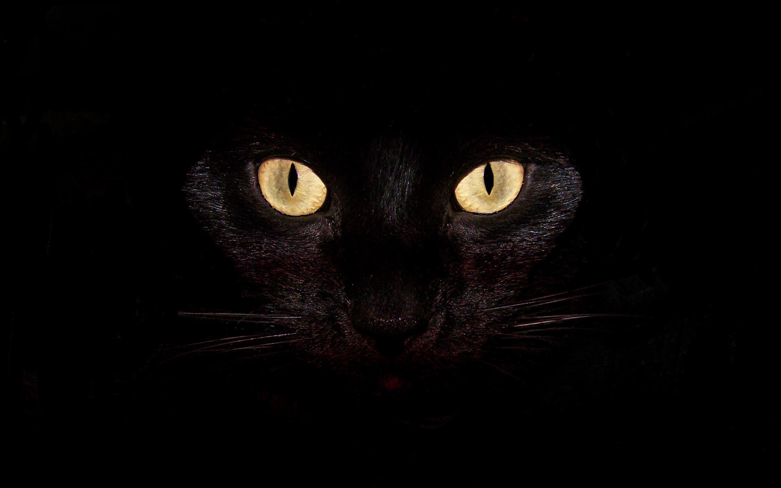 animal black cat background