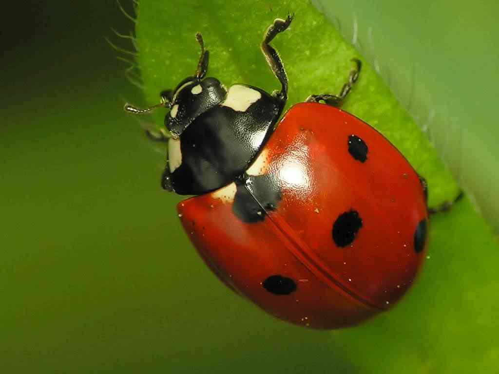 natural ladybug image