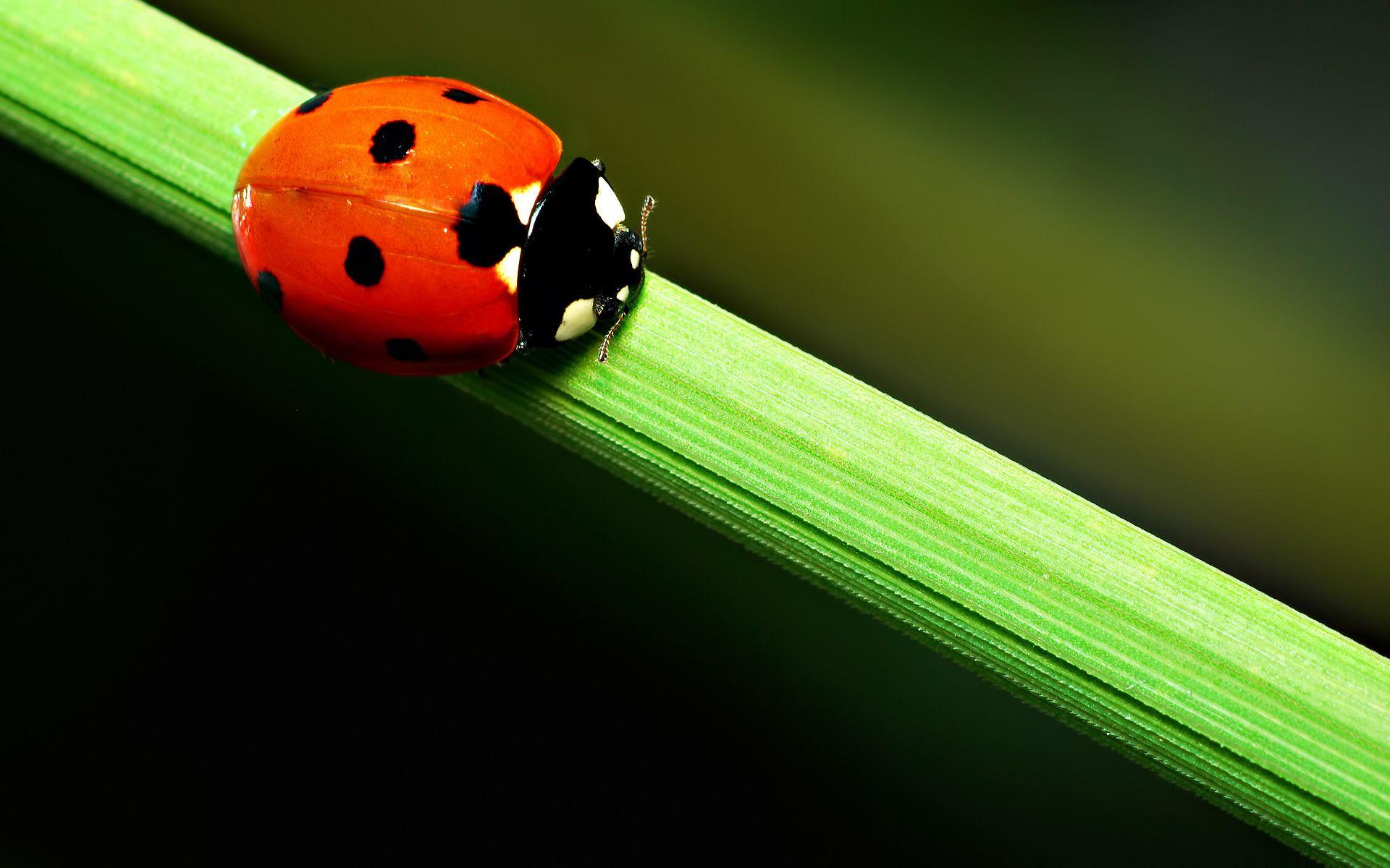 red hd ladybug image
