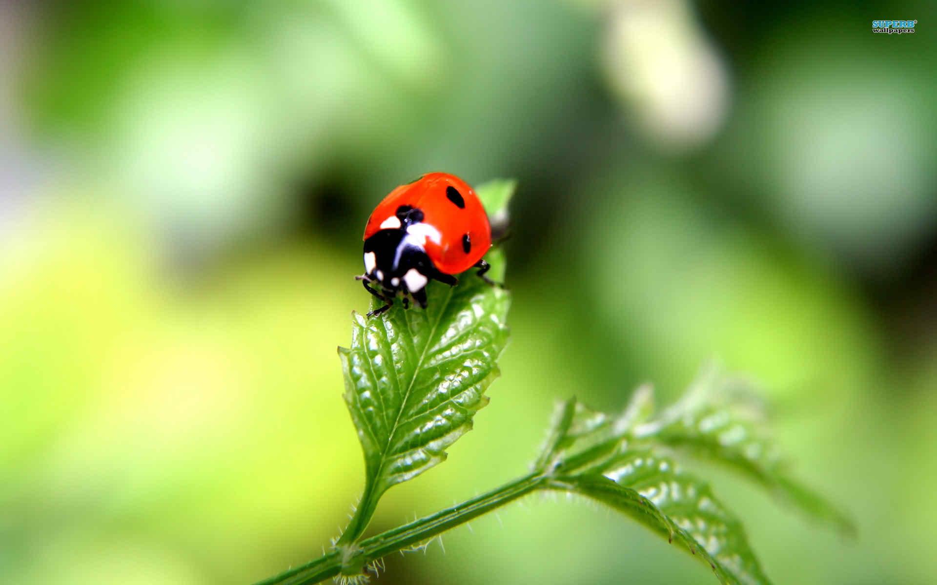 widescreen ladybug image hd