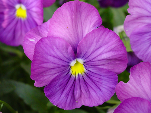african violet flower image