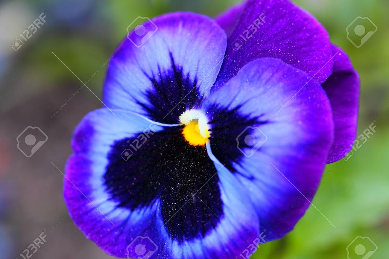 violet flower  hd wallpapers pulse, Beautiful flower