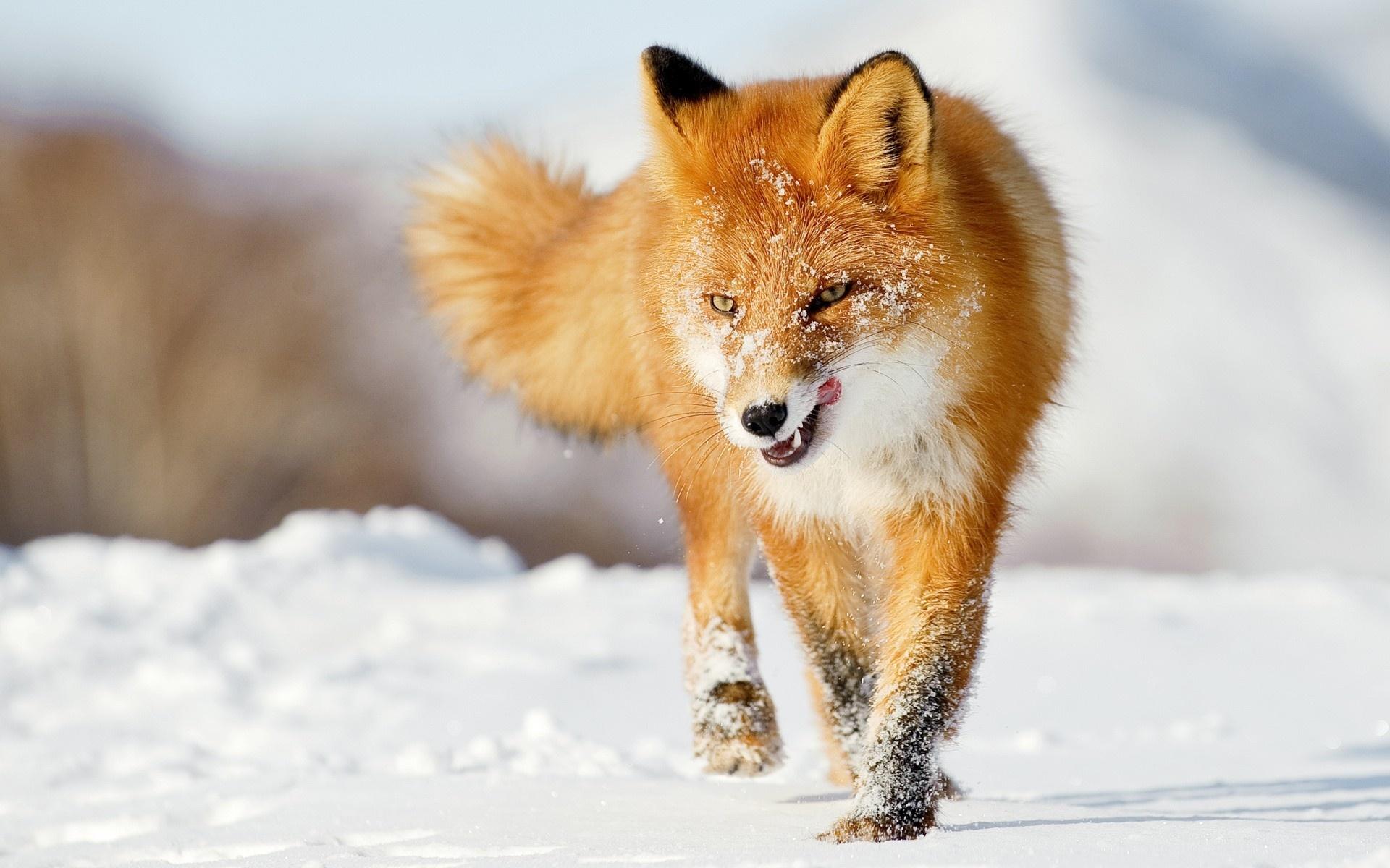 Wallpapers Of Fox Snowfall On Fox Photo 25064