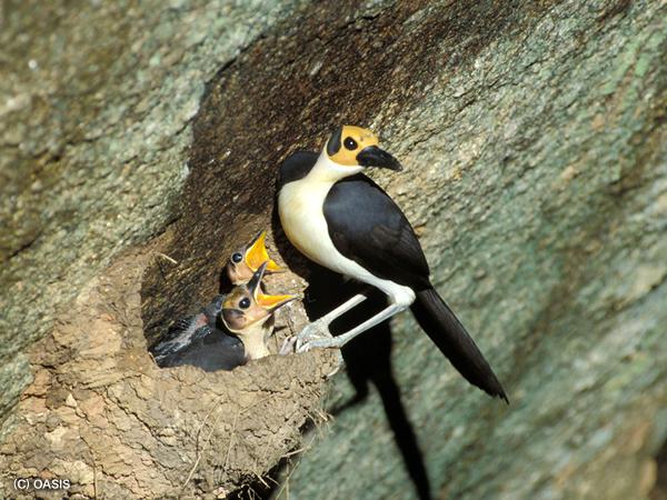white necked rockfowl