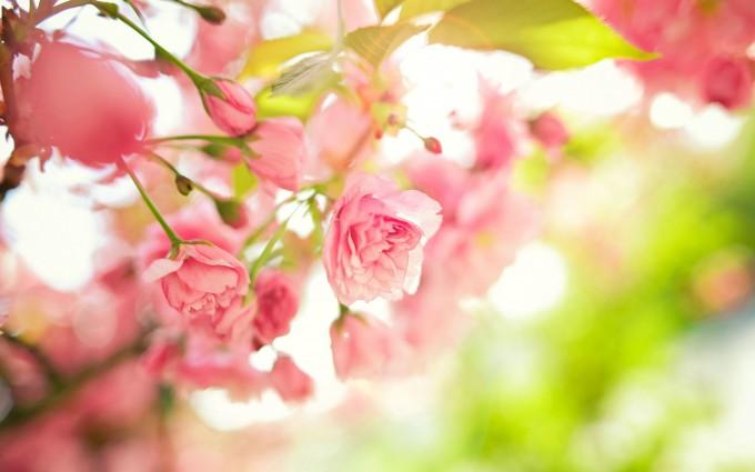 pink pink rose image