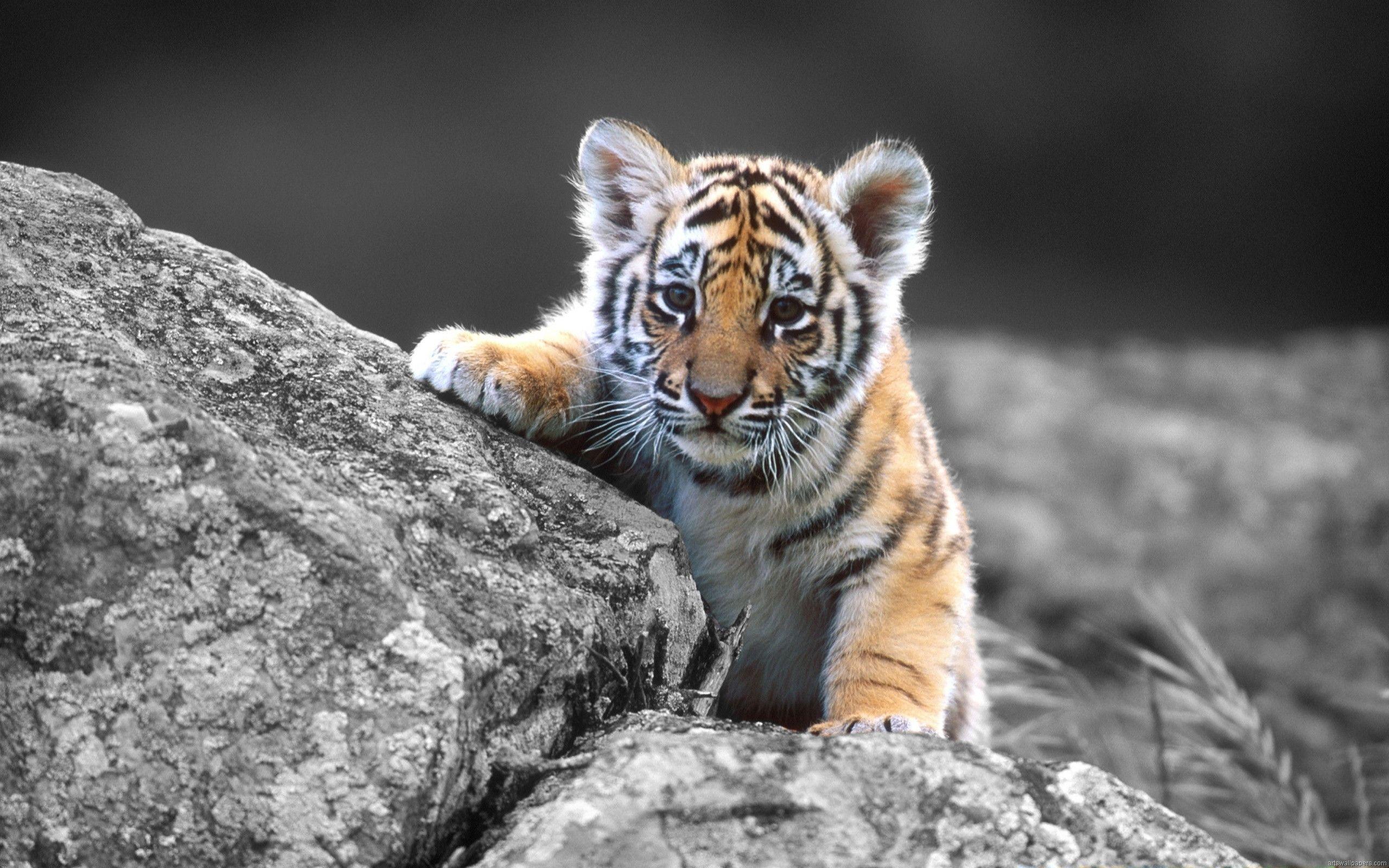 tiger aniimal image