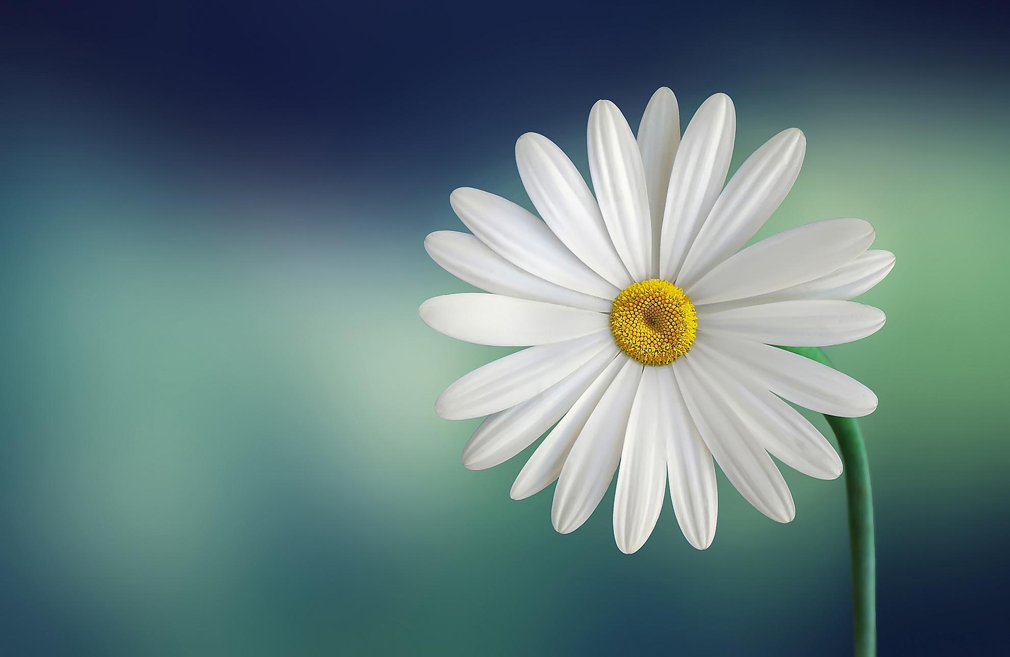 white daisy flower image