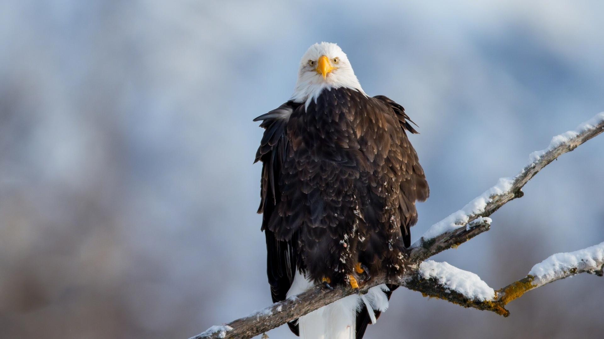eagle vulture branch snow bird
