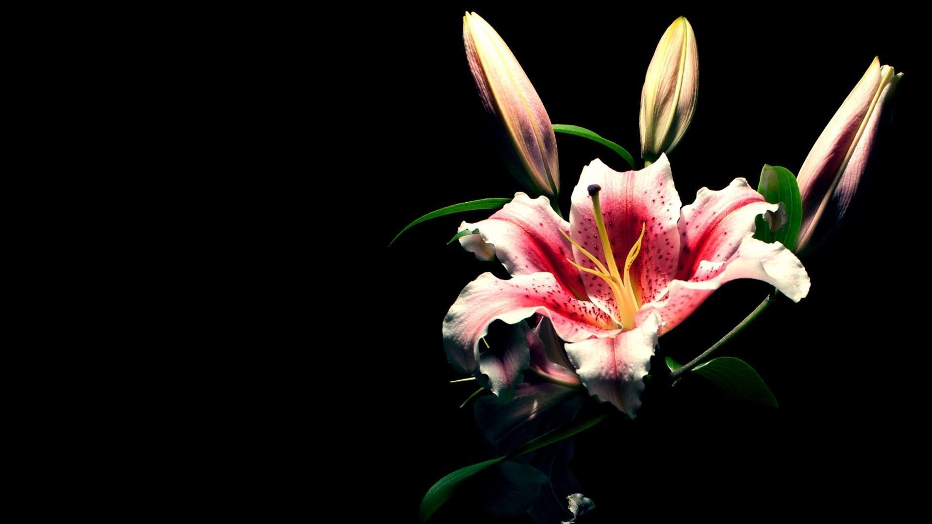 blue lily rose image