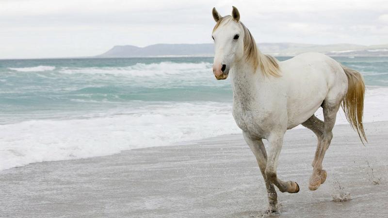 white horse hd image