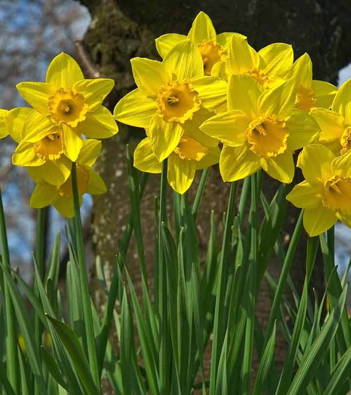 Beautiful Daffodil Flowers