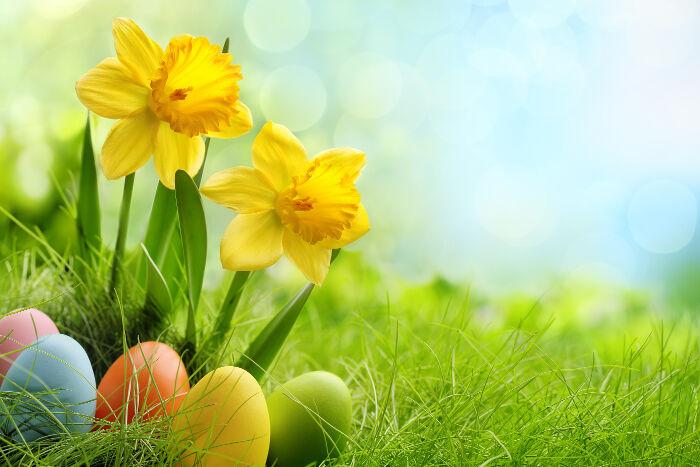 nice daffodil flowers