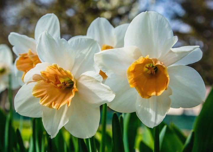 white daffodil flowers