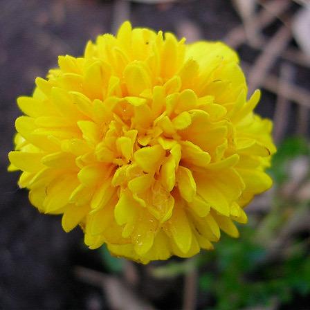 widescreen natural yellow rose image