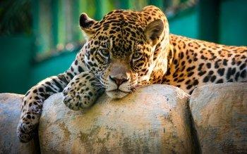 free hd leopard image